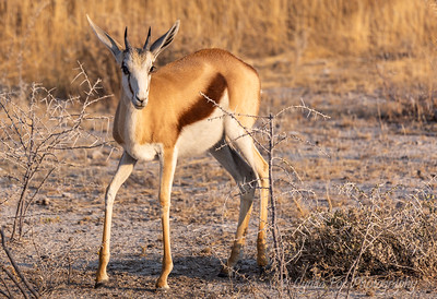 Gracefull Gazelle