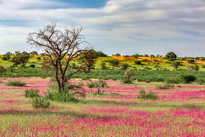 Flowering Kalahari desert South Africa wilderness
