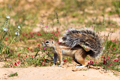 South African ground squirrel in flowering desert Kalahari
