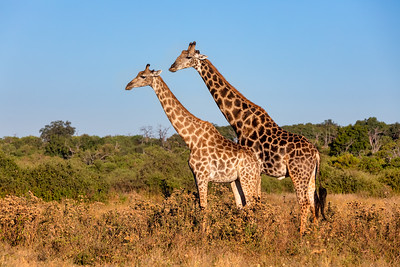 South African giraffe mating in Chobe, Botswana safari
