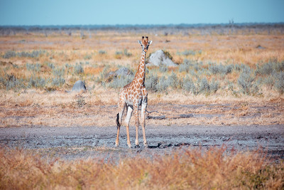 South African giraffe calf Chobe, Botswana safari