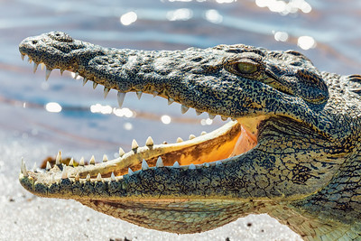 Nile Crocodile in Chobe river, Botswana