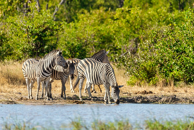 Zebra in bush, Botswana Africa wildlife