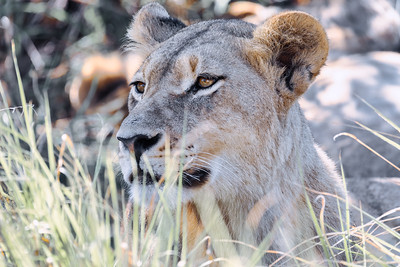 lion without a mane Botswana Africa safari wildlife
