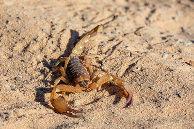 Scorpions walking in sand Botswana, Africa wildlife