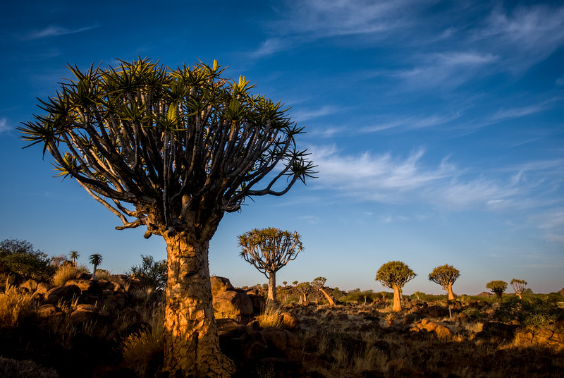 "Quiver trees only grow in Namibia and north-western South Africa.  Usually solitary, this ""forest"" is an unusual grouping. They are a variety of Aloe 2-300 years old. San (bushmen) fashioned quivers for their arrows from the hollow branches."