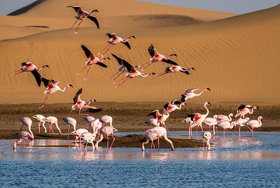 Flamingos descending