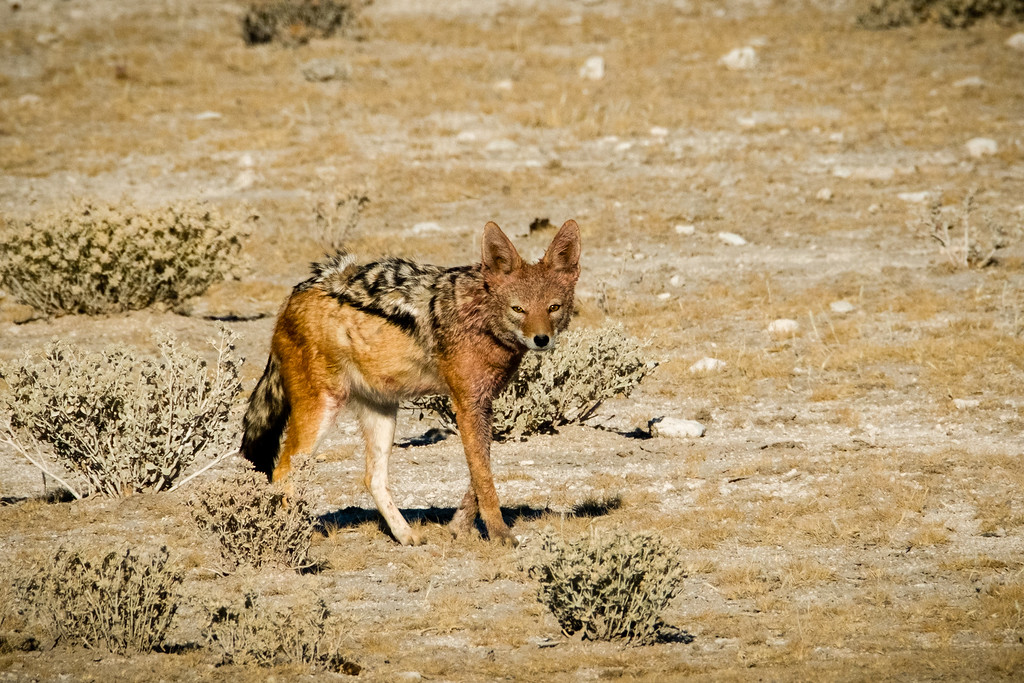Black-Backed Jackal Mate for life and jointly raise the young.  They are opportunists and will follow lions knowing they have to make a kill sometime.