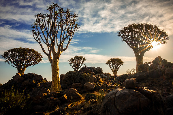 """Quiver trees only grow in Namibia and north-western South Africa.  Usually solitary, this """"forest"""" is an unusual grouping. They are a variety of Aloe 2-300 years old. San (bushmen) fashioned quivers for their arrows from the hollow branches."""