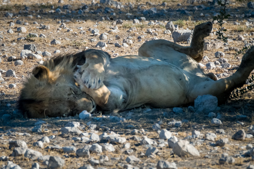 Lion Spend up to 20 hours a day just lying around or sleeping.  The other four hours are spent hunting and marking territory.