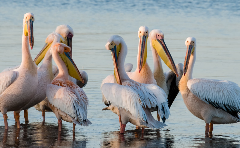 Great White Pelicans