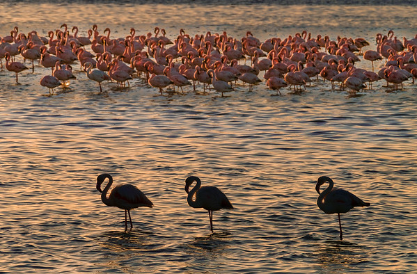 Greater and Lesser Flamingos