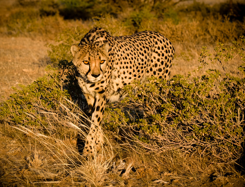 Cheetah.  With an estimated population of 2,500, probably the largest number in any country.  The great majority live free on cattle ranches in north-central Namibia where they are in constant conflict with the farmer's interests.  There are small populations in Etosha and the Kalahari.