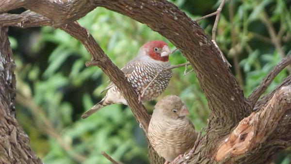 Red-headed Finch