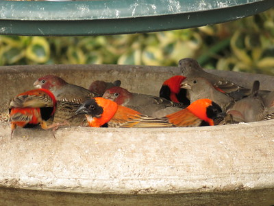 Red-head Finch & Southern Red Bishop