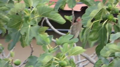 Video Red-faced Mousebird