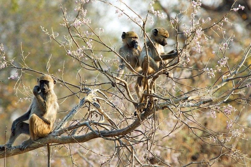 Baby_Baboons
