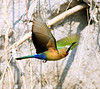 Little_Bee_eater3