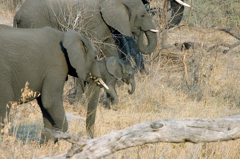 Elephant_Herd2