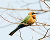 Little_Bee_eater1
