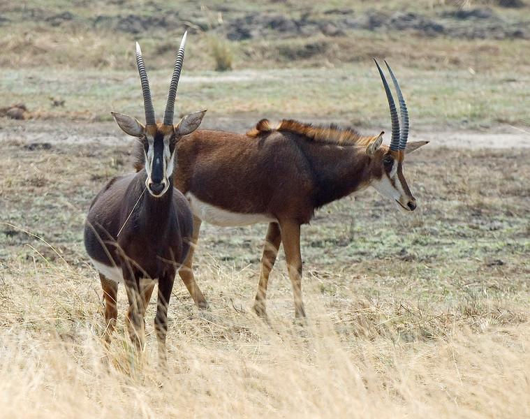 Sable_Antelope