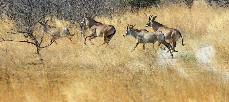 Roan_Antelope2