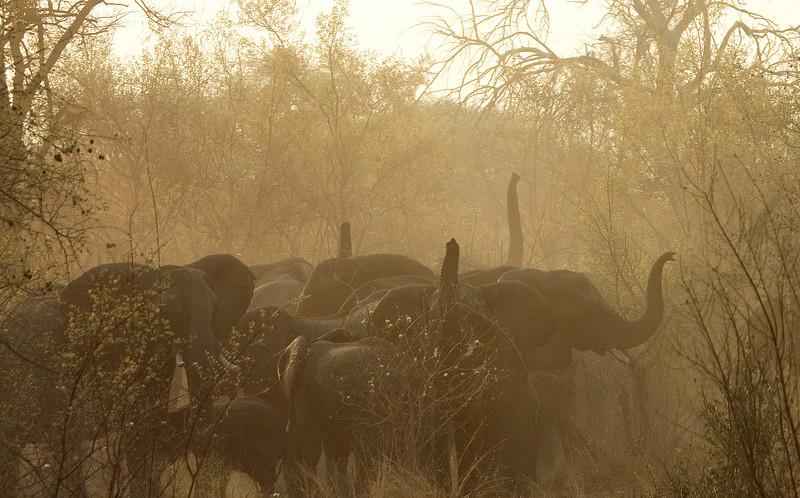 Elephant_Herd_Sniffing
