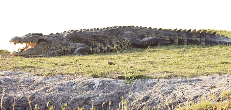 Nile_Crocodile
