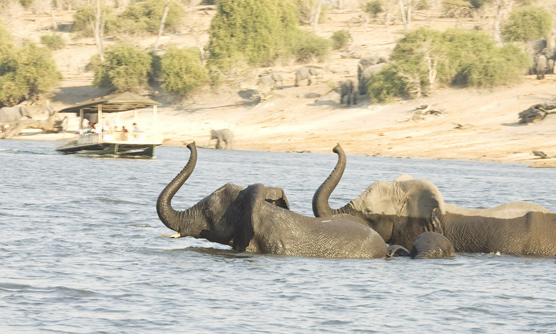ChobeRiver_Elephants_Spooked