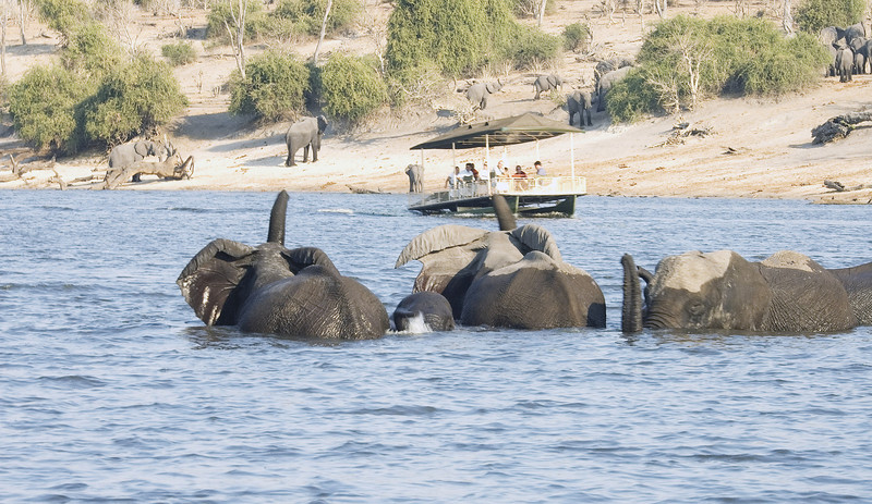 ChobeRiver_Elephants_Spooked2