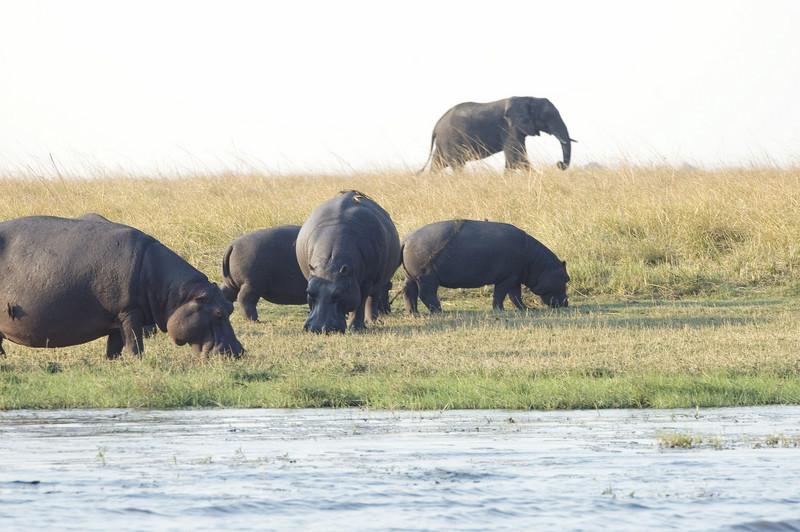 Hippos_Elephant