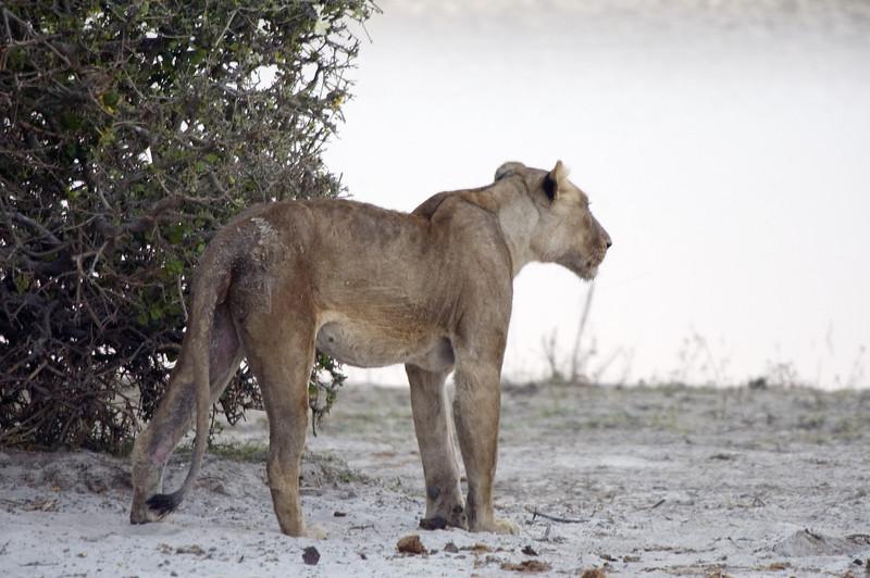 Sick_Lioness4