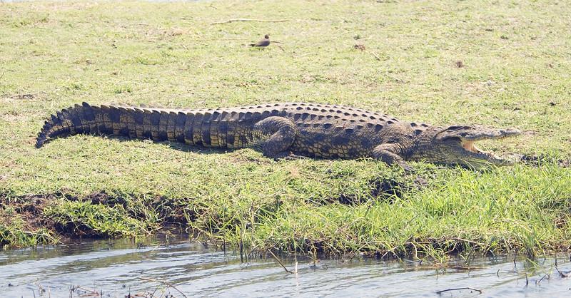 Nile_Crocodile2