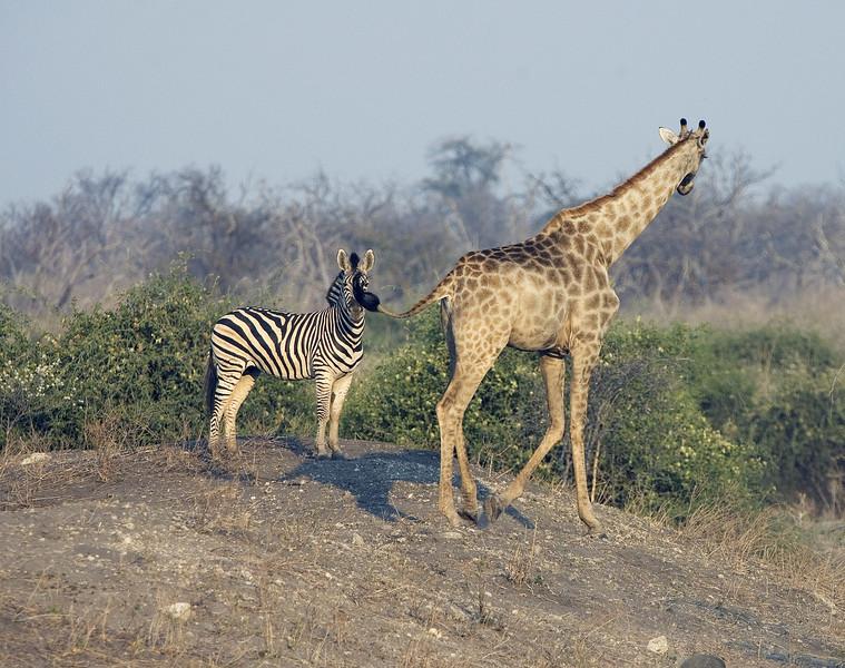 Giraffe_flicking_tail