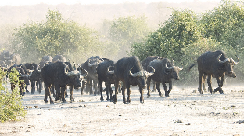 Cape_Buffalo_herd1