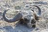 Cape_Buffalo_Skull