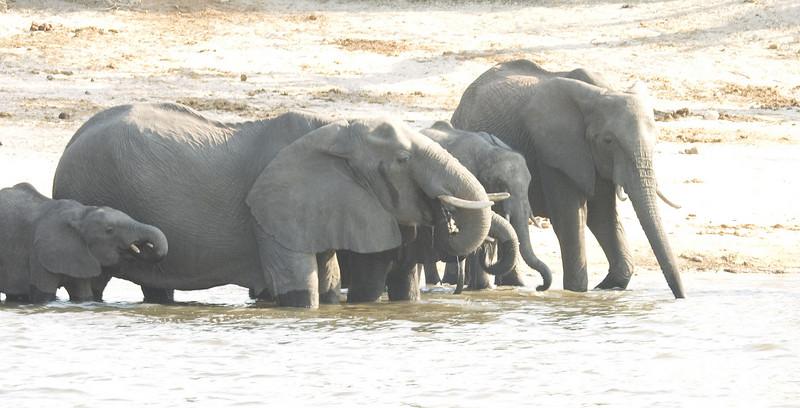 ChobeRiver_Elephants1