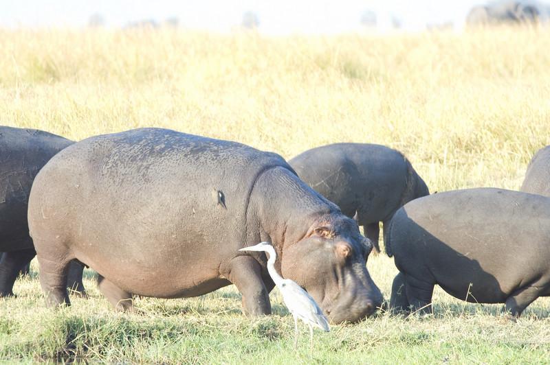Hippos2