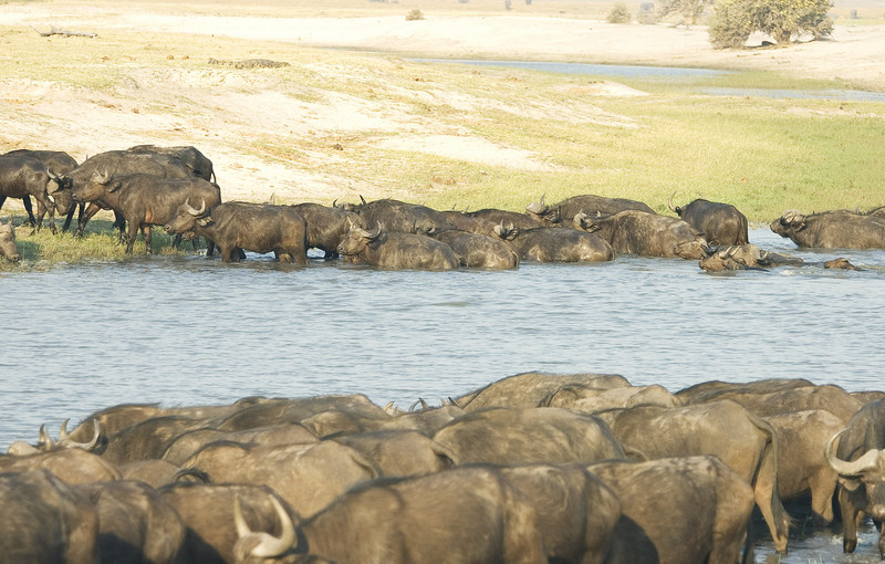 Cape_Buffalo_herd5