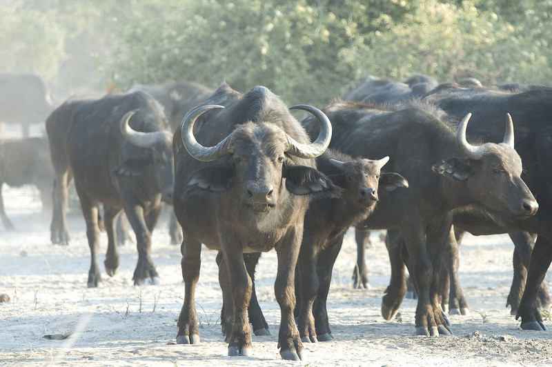 Cape_Buffalo_herd4