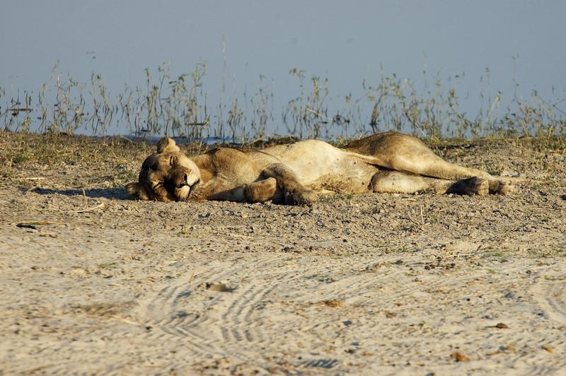 Sick_Lioness2