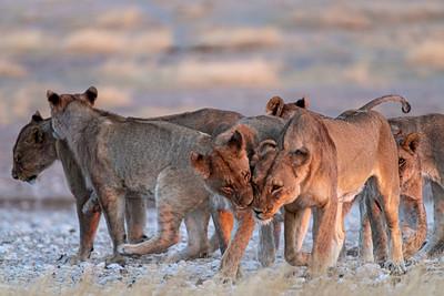 namibia, etosha np, animals, mammals, predators, feline, lions, pride, greeting