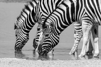namibia, etosha np, animals, mammals, ungulates, zebras, herd, drinking, black&white