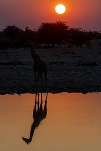 namibia, etosha np, animals, mammals, ungulates, giraffes, shadow, reflection, sunset