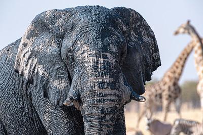 namibia, etosha np, animals, mammals, ungulates, elephants, bull, bathing, giraffes, zebras, oryx