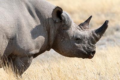 namibia, etosha np, animals, mammals, ungulates, rhinoceros