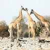 Giraffes_Smooching