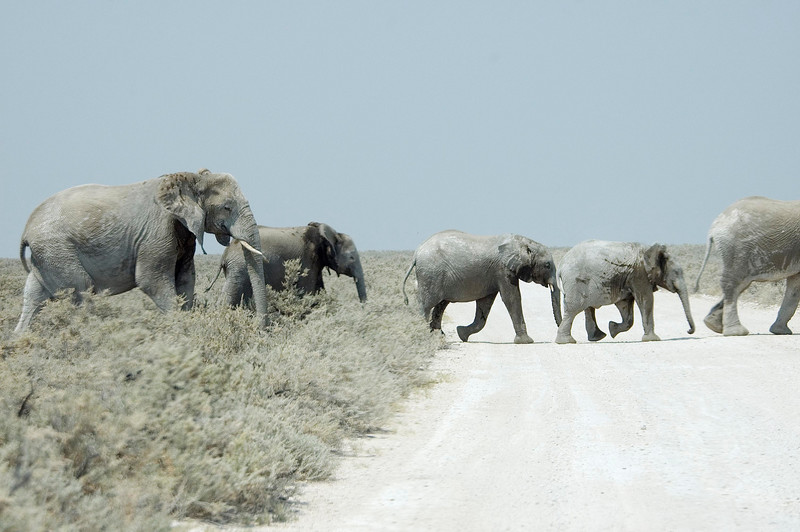 Elephant_Crossing2