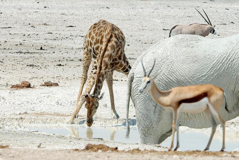 Nervous_Giraffe2