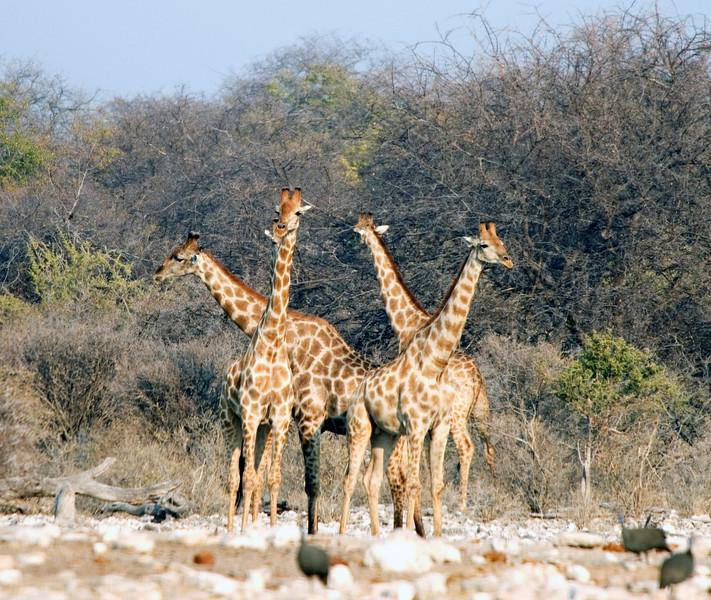 Giraffes_Crossed